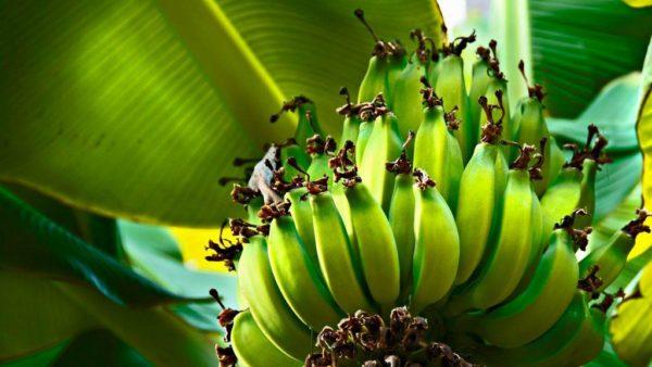 Огромные кисти еще зеленых плодов.