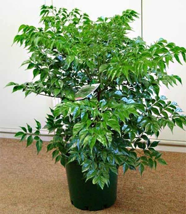 В комнатных условиях растение не вырастает выше 1-1,5 метров.
