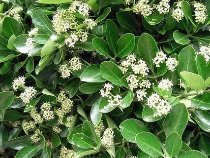 Мелкие цветы расцветают в рыхлых кистях.
