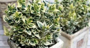 Миниатюрные растения с пестрой листвой нельзя выращивать в полной тени.