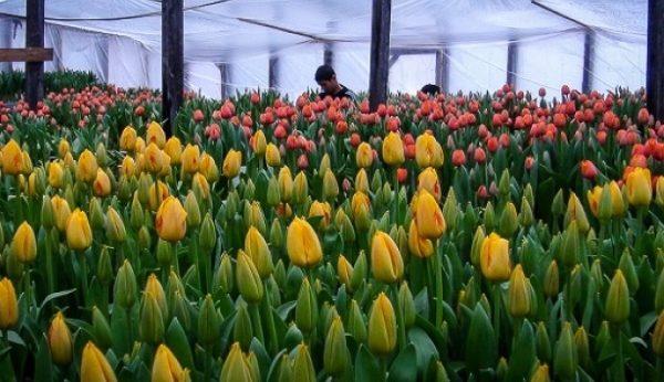 выращивание цветов в промышленных масштабах