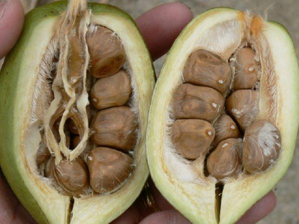 Твердую скорлупу необходимо предварительно обработать для улучшения прорастания семян.