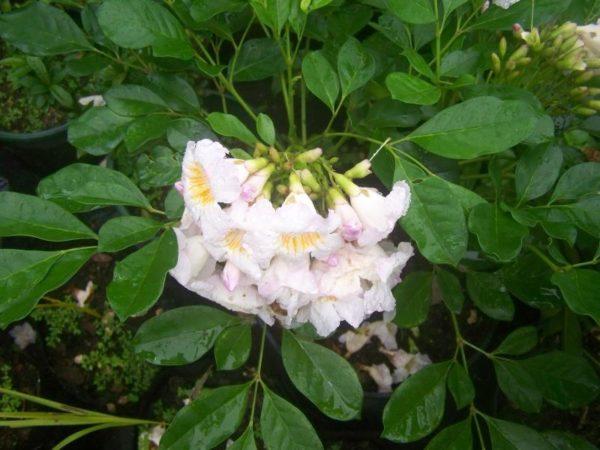 Очаровательное растение очень декоративно во время цветения.