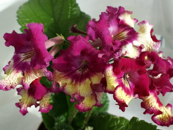 Способы размножения цветка требуют терпения и умения.