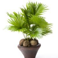 Через три года после посева семян удается получить чудесное интерьерное растение.