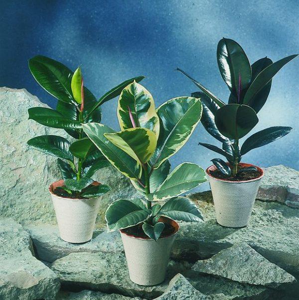 Для растений со светлыми листьями требуется лучшее освещение.