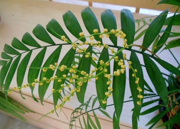 Семена можно использовать для размножения.
