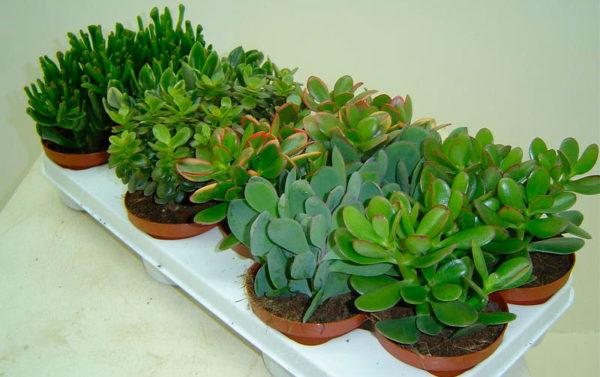 Каджый сорт растения красив и уникален.