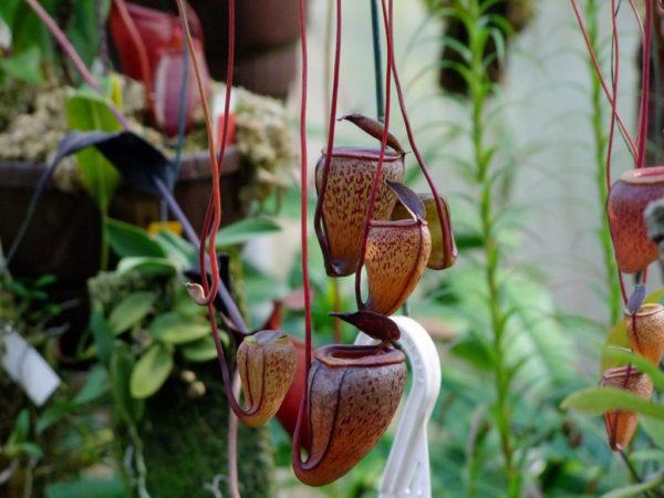 Свернутые в трубочку листья растения.