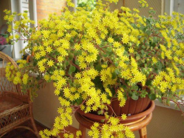 Яркие желтые цветы долго украшают стебли суккулента.