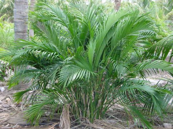 Растение приспособлено к жизни в тени.