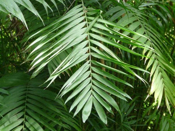Здоровая листовая пластинка имеет ровный зеленый цвет.