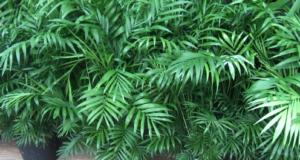 При недостаточном увлажнении воздуха. листья начинают засыхать.