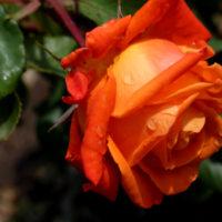 Очаровательную розу не зря называют королевой сада.