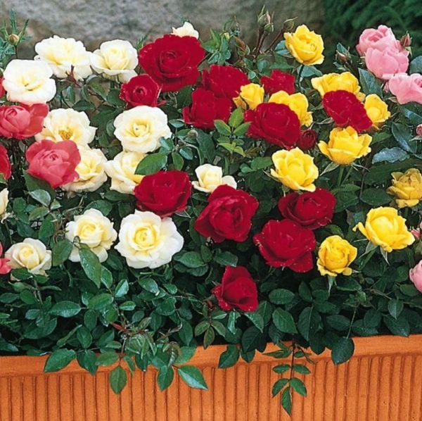 Среди миниатюрных сортов роз очень много ярких и эффектных окрасок.