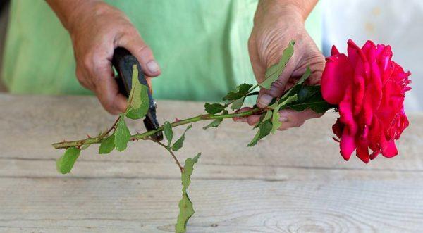 Правильная обрезка розовых стеблей на укоренение.